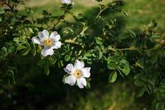 Цветок бедра белой розы на зеленой предпосылке Стоковая Фотография RF