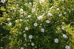 Цветок бедра белой розы на зеленой предпосылке Стоковая Фотография