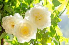 Цветок белых роз в саде Стоковая Фотография