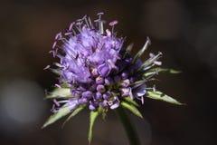 Цветок бита ` s дьявола или бита ` s дьявола scabious Стоковое фото RF