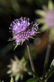 Цветок бита ` s дьявола или бита ` s дьявола scabious Стоковое Изображение RF