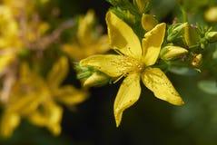 Цветок близкий вверх perforatum зверобоя стоковые фото