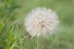 Цветок бороды коз Стоковые Изображения RF
