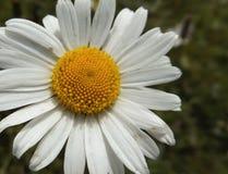 Цветок большой белой маргаритки, marguaret максимума Leucanthemum Стоковое Изображение RF