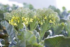 Цветок брокколи Стоковое Изображение RF