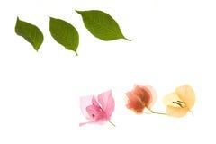 цветок бугинвилии выходит лепестки стоковое фото rf