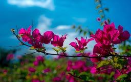 Цветок бугинвилии Стоковое фото RF