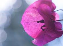 Цветок бугинвилии Стоковая Фотография
