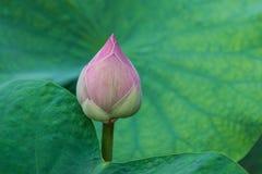 Цветок бутона лотоса Стоковое фото RF
