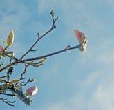 Цветок бутона магнолии Стоковая Фотография RF
