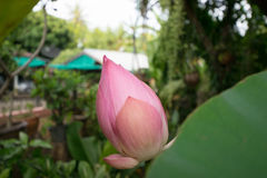 Цветок бутона лотоса Стоковое Фото