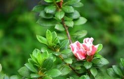 Цветок бутона пиона Стоковая Фотография RF