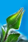цветок бутона Стоковые Изображения RF