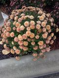Цветок Буша Стоковое Фото