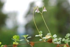 Цветок близнеца Linnea Стоковые Изображения RF