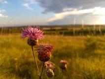 Цветок василёка Стоковая Фотография RF