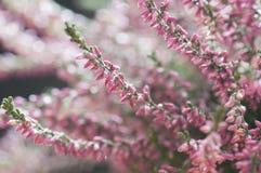 Цветок вереска Стоковое Фото
