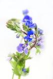 Цветок Вероники стоковые фото