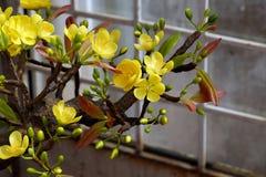 Цветок весны Вьетнама, цветение абрикоса глины стоковое изображение