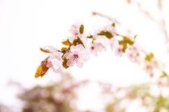 Цветок весны в снеге Стоковая Фотография RF