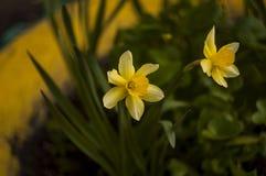 Цветок весны желтый в саде стоковые изображения