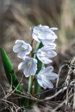 Цветок весны колокола Стоковые Изображения RF