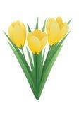 Цветок весны - крокус Стоковое Изображение