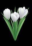 Цветок весны - крокус Стоковая Фотография