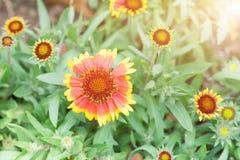 Цветок весны лета в саде оранжевый цветок на солнечный день Стоковая Фотография