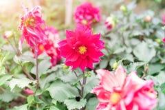 Цветок весны лета в саде роза пинка на солнечный день Стоковые Изображения RF