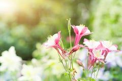 Цветок весны лета в саде розовый цветок на солнечный день Стоковая Фотография RF