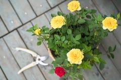 Цветок весны лета красочная роза в баке на солнечный день Стоковое Фото