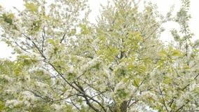 Цветок весны на большом вишневом дереве сток-видео