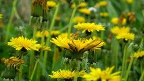Цветок весны - цветки одуванчика или taraxacum одуванчика в траве, отбрасывая в ветерке на луге сток-видео