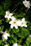 Цветок весны Стоковые Изображения RF