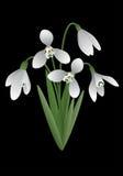 Цветок весны - snowdrop Стоковые Изображения