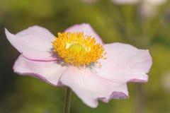 Цветок ветреницы стоковое изображение rf