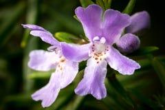 Цветок вечнозеленого creeper (hederacea Glechoma) Стоковые Изображения