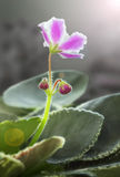 Цветок Виолы Стоковые Фотографии RF