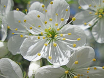 Цветок вишневого дерева Стоковые Изображения RF