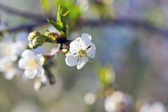 Цветок вишни, весна Стоковая Фотография