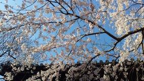 Цветок вишни в святыне токио Стоковые Фото