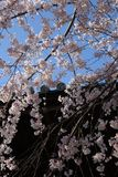 Цветок вишни в святыне токио Стоковые Фотографии RF