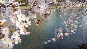Цветок вишни в Хиросиме Стоковые Изображения