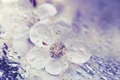 Цветок вишни, конец-вверх дерева абрикоса Стоковые Изображения