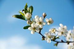 Цветок вишни на весне голубого неба Стоковая Фотография RF