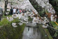 Цветок вишни - путь философа Стоковое Изображение