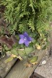 Цветок воздушного шара Стоковые Фото