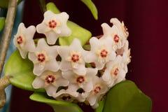 Цветок воска Стоковые Фотографии RF