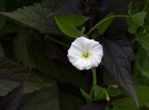 Цветок вьюнка поля Стоковое Фото
